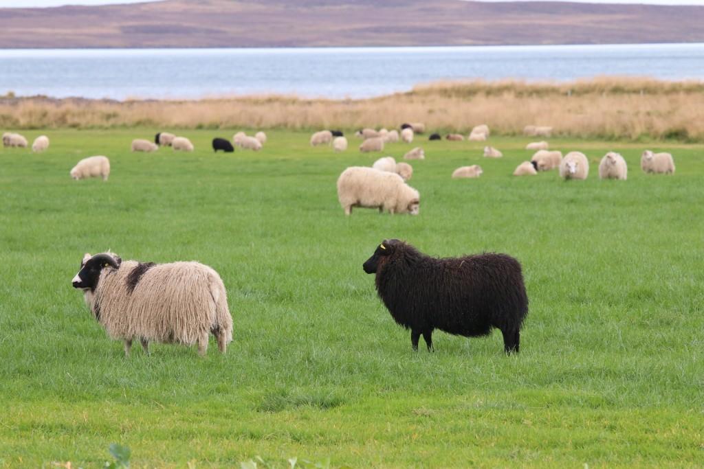 Icelandic sheep!