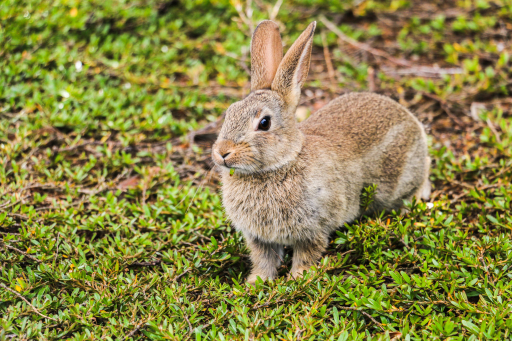 Rabbit trimming the grass