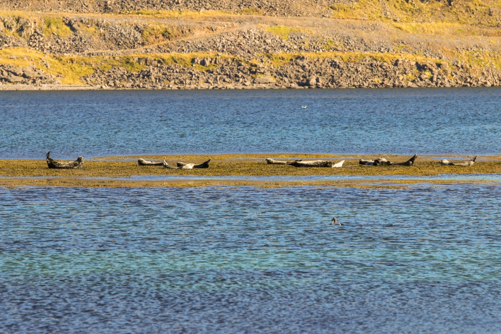 Large colony of seals