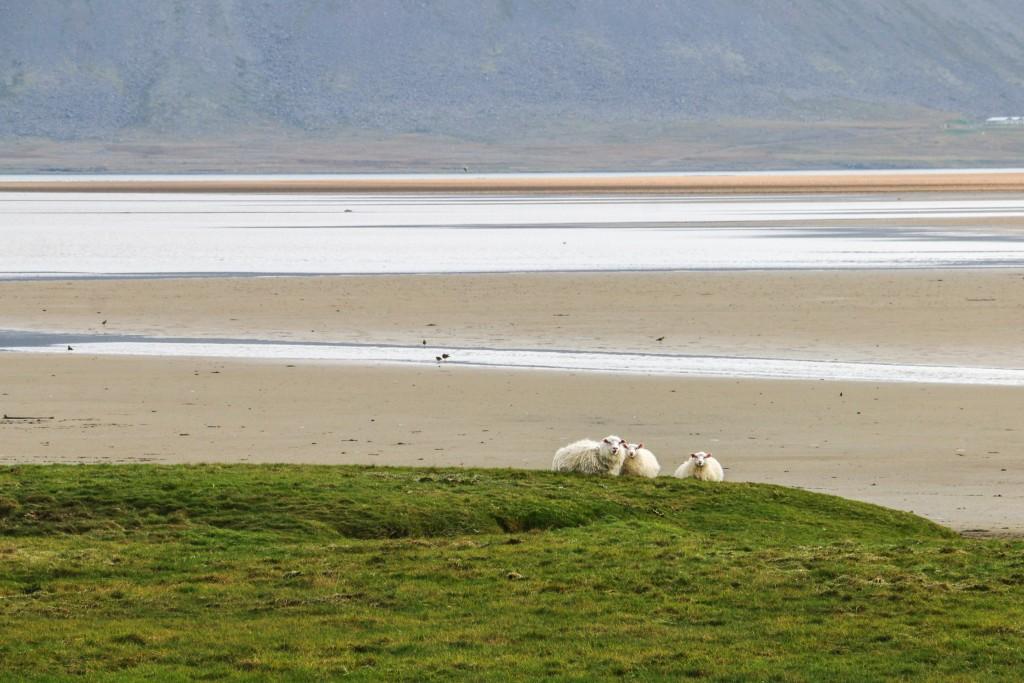 Sheep in Rauðisandur