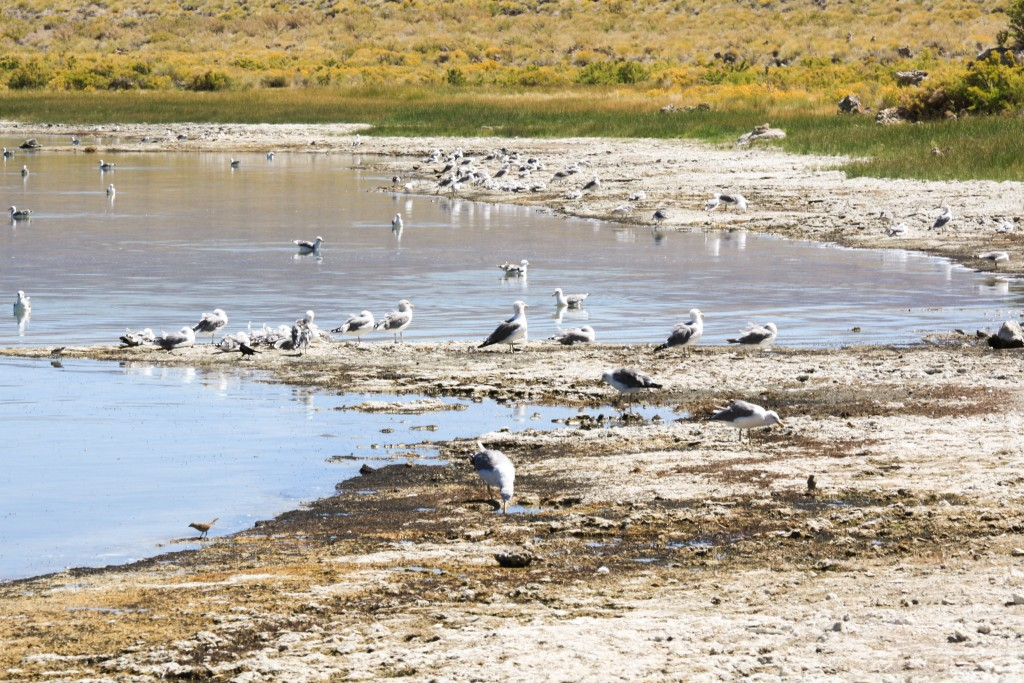 Mono Lake California Gulls