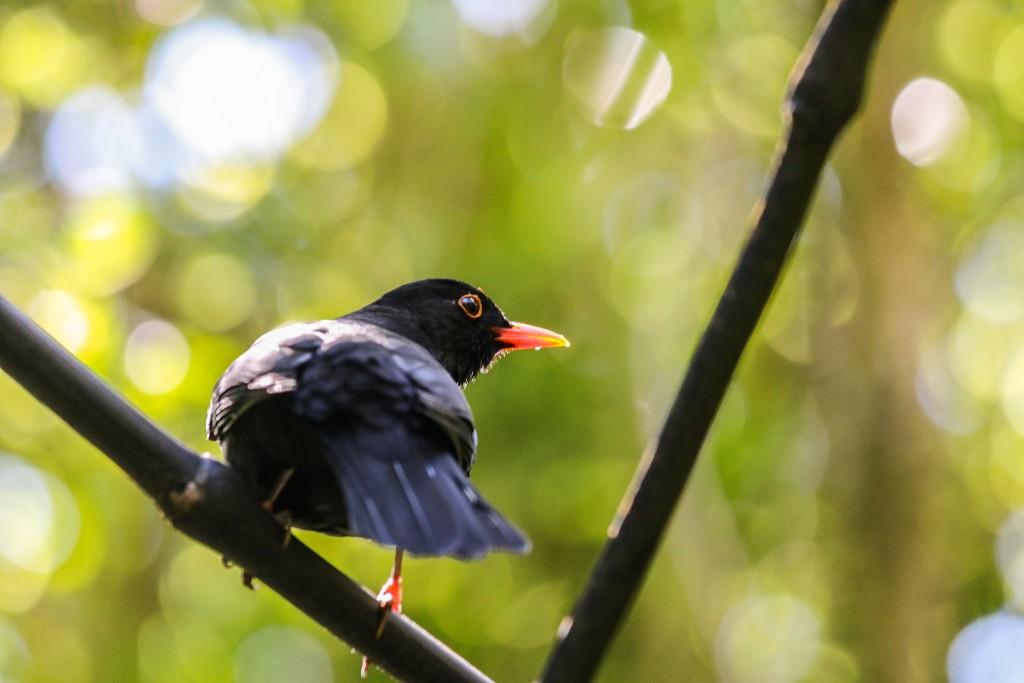Zealandia Blackbird