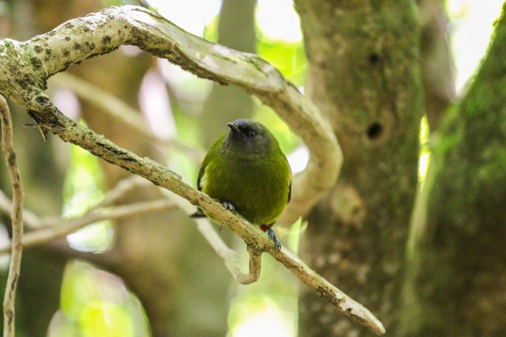 Zealandia Korimako Bellbird