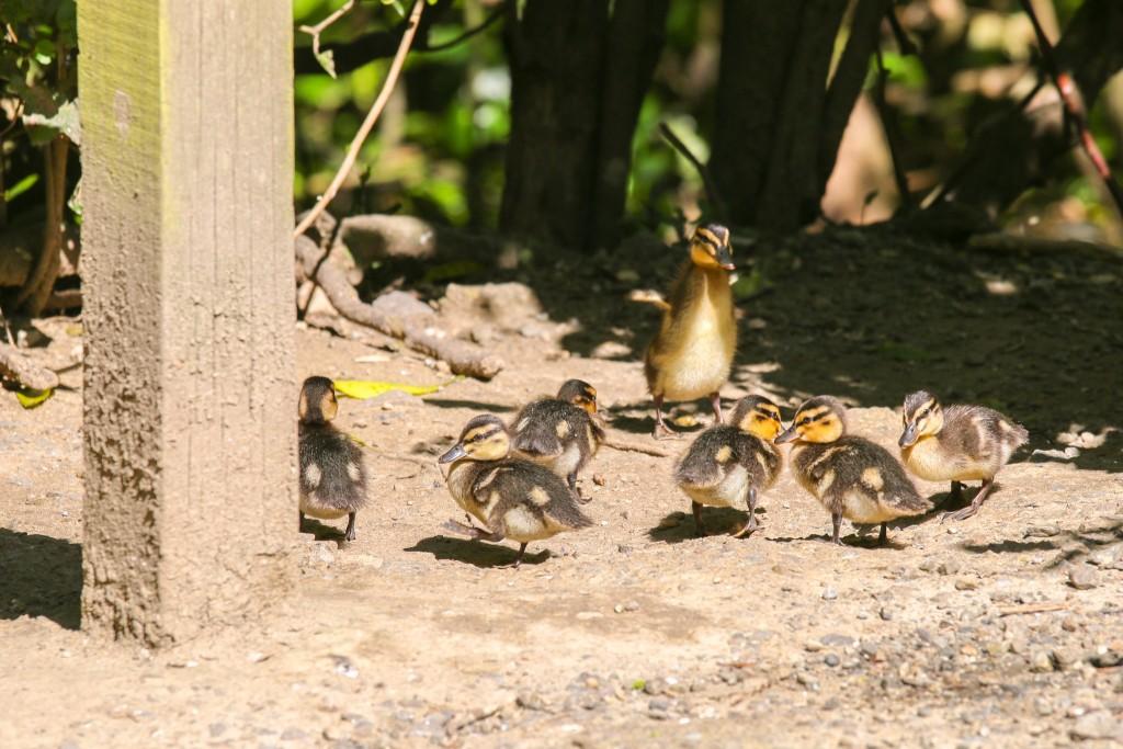 Zelandia Mallard ducklings