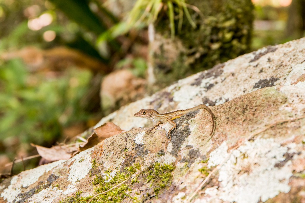 Sierra Maestra Reptile