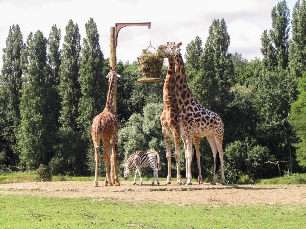 Parc de Thoiry Giraffes